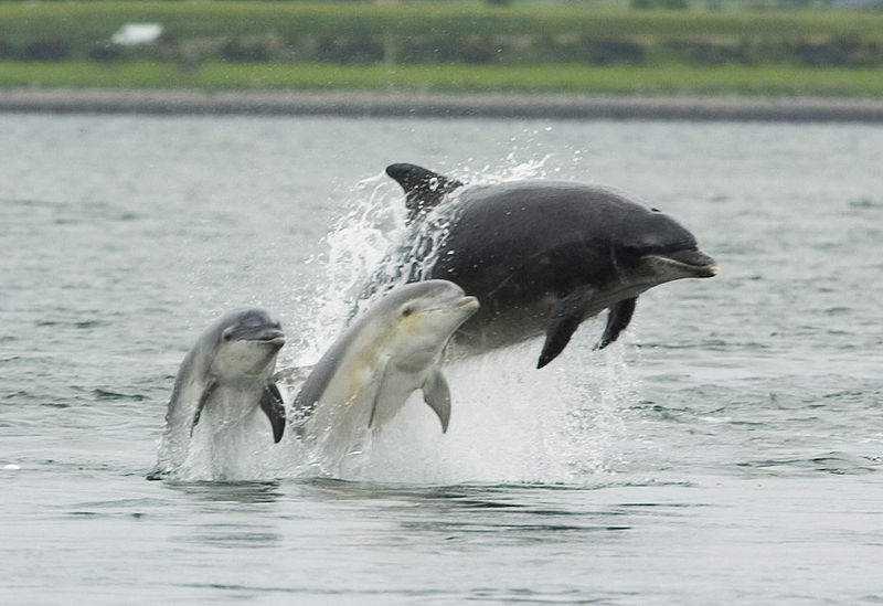 800px-Bottlenose_dolphin_with_young1